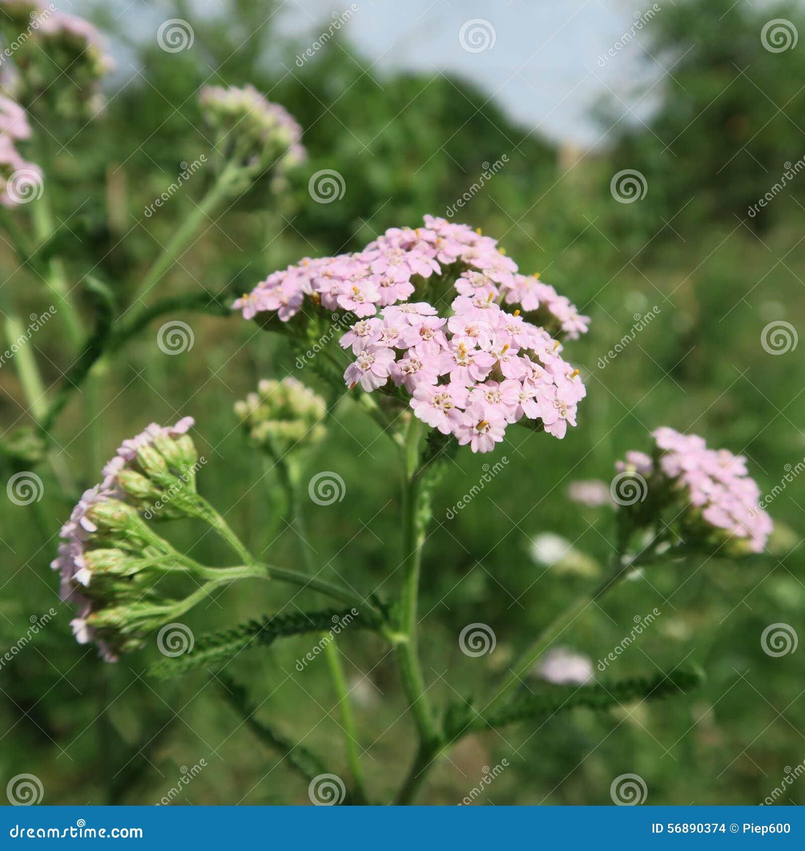 Rosa, achillea millefolium
