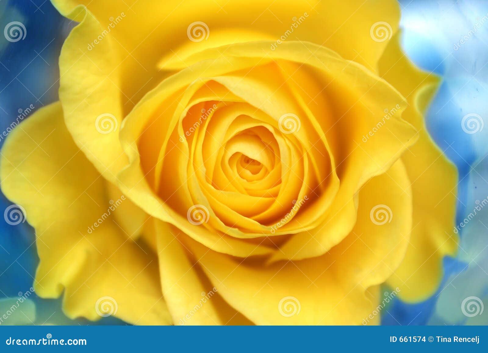 Rosa amarela