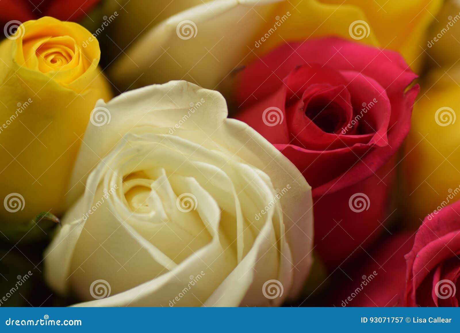 Rosa Amarelavermelhabranca Imagem De Stock Imagem De Flores