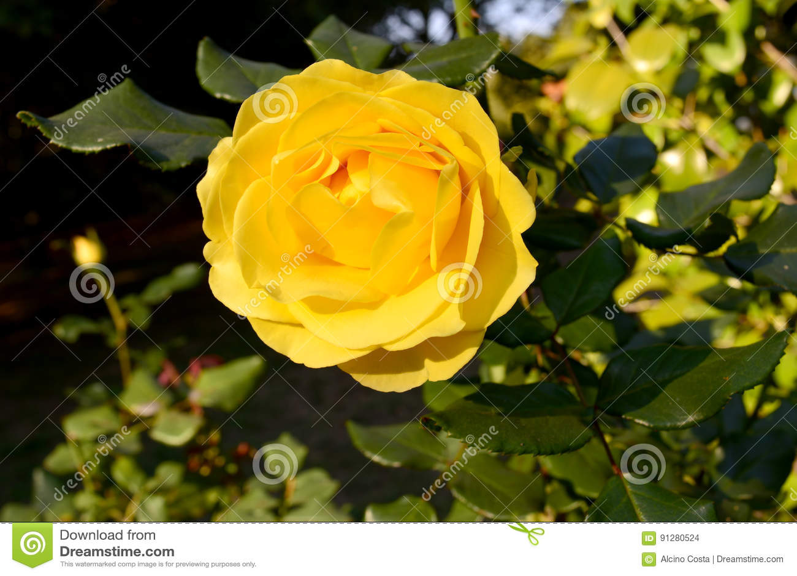Rosa Amarela _Yellow steg