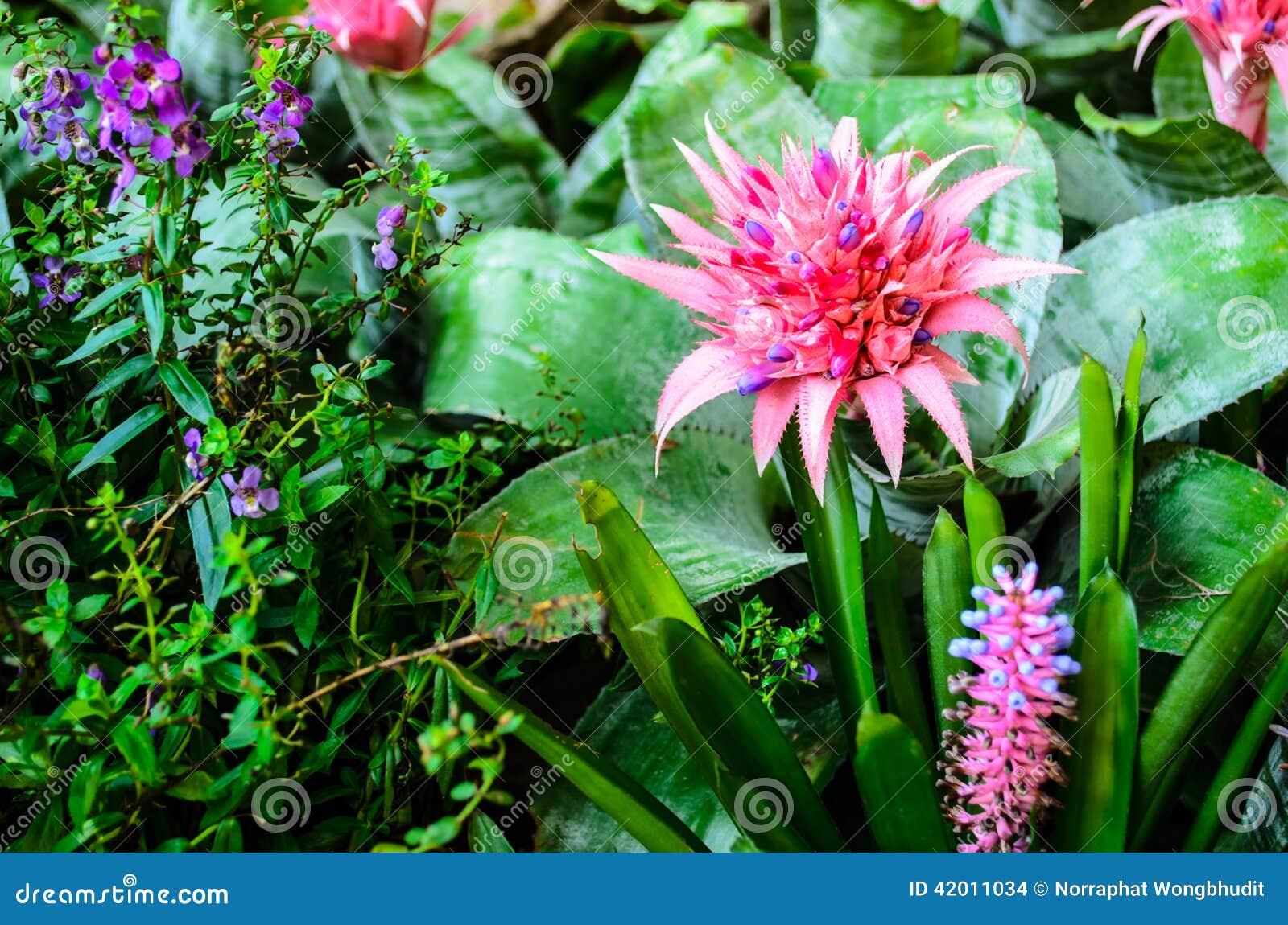 rosa ananas-blume im garten stockfoto - bild von blüte, boden: 42011034
