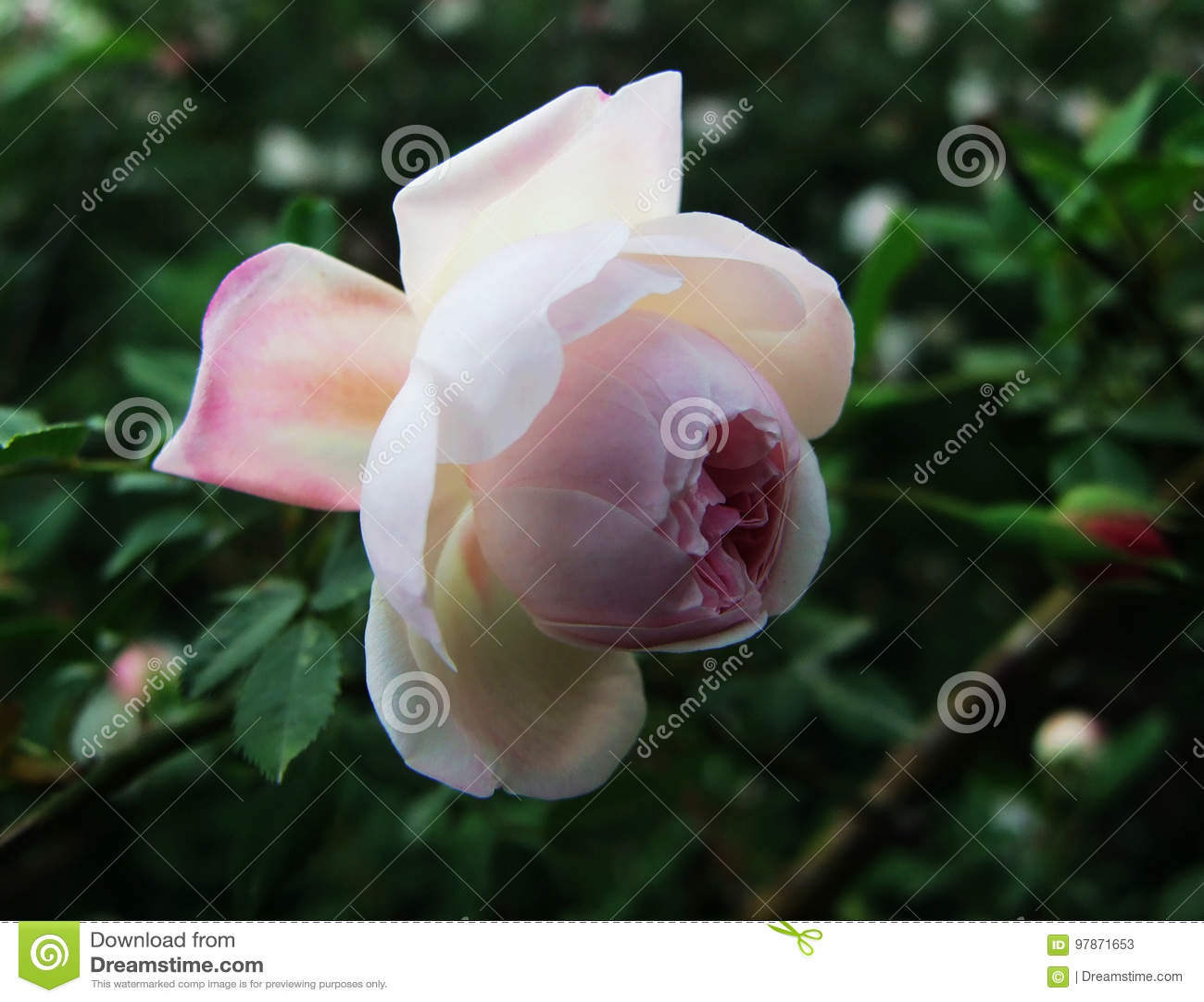 Rosa, as rosas, rosas brancas, rosa vermelha de A, flor, flores, chineses aumentou,