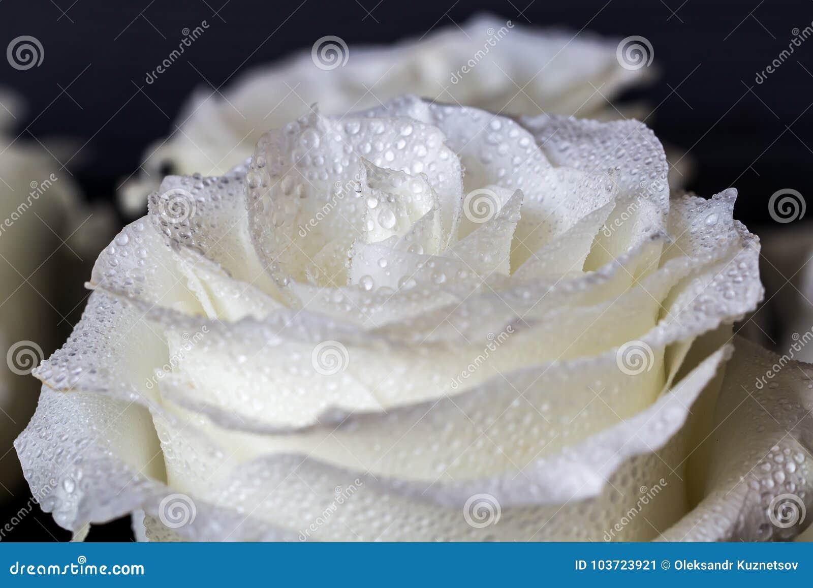 Carta Da Parati Rosa Bianca : Rosa bianca e gocce di acqua sul petalo delle rose carta da parati