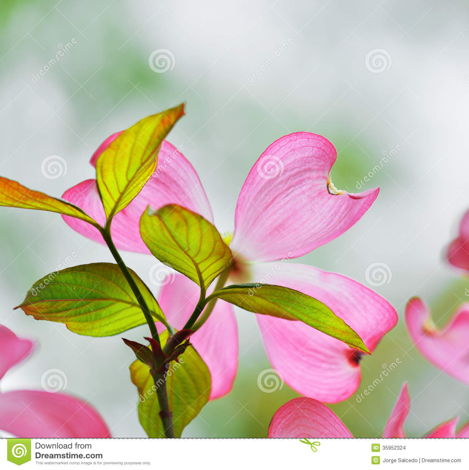 rosa bl hender hartriegel stockbilder bild 35952324. Black Bedroom Furniture Sets. Home Design Ideas