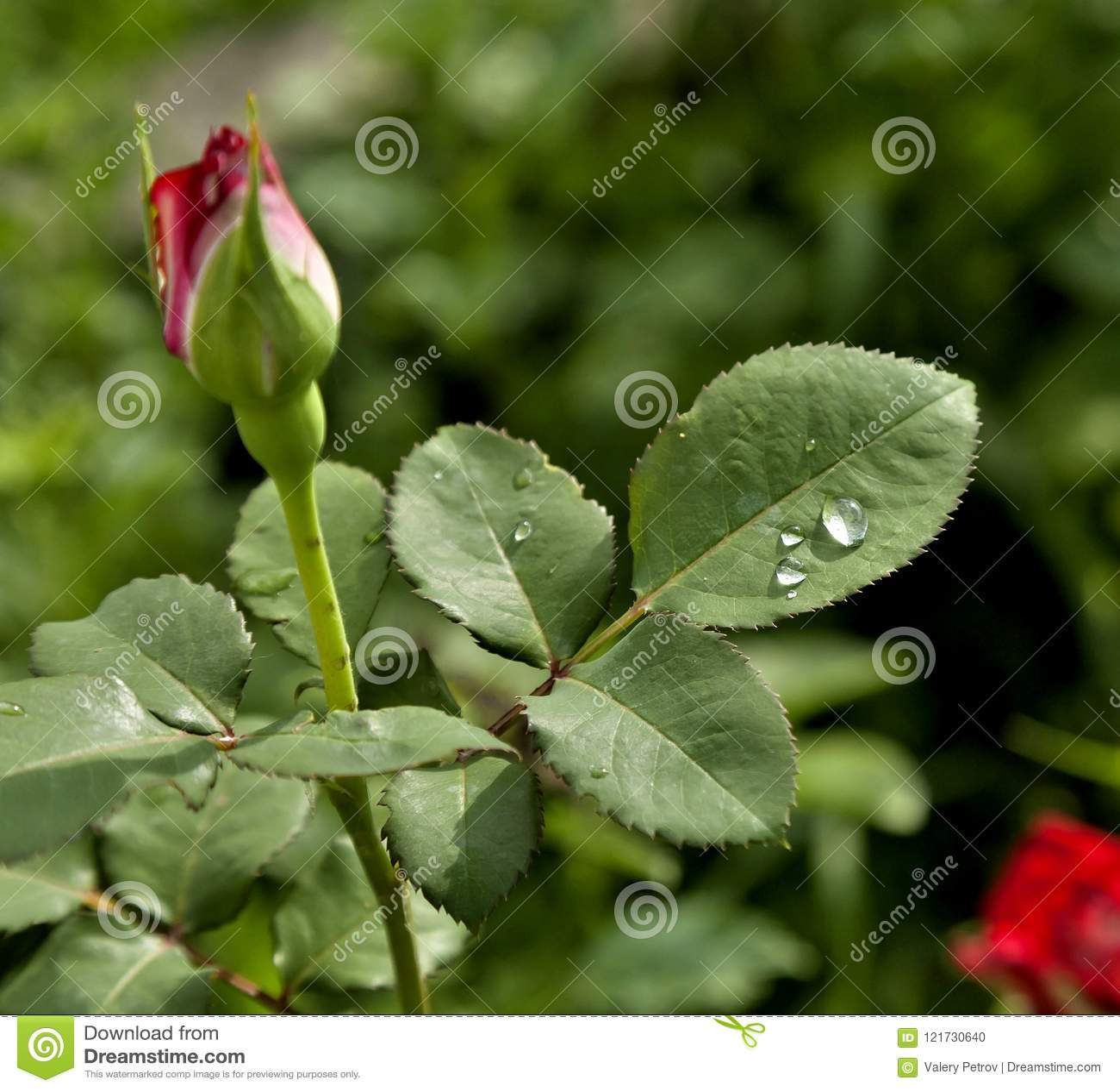 Rosa blad med regndroppar
