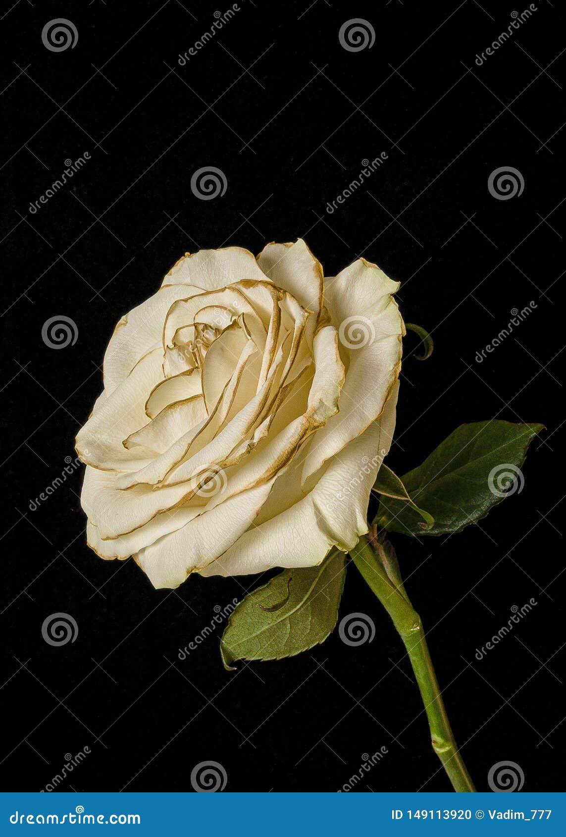 Rosa blanca del descoloramiento aislada en fondo negro