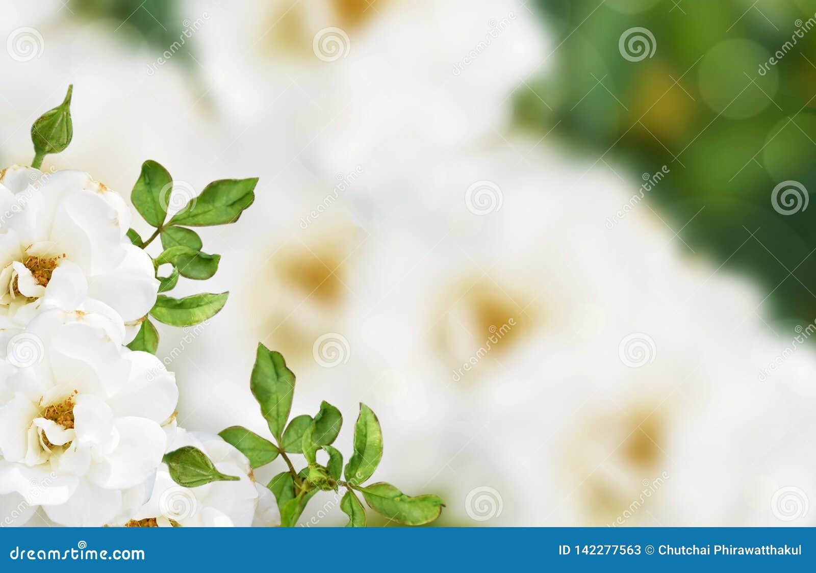 Rosa blanca, fondo hermoso de la flor