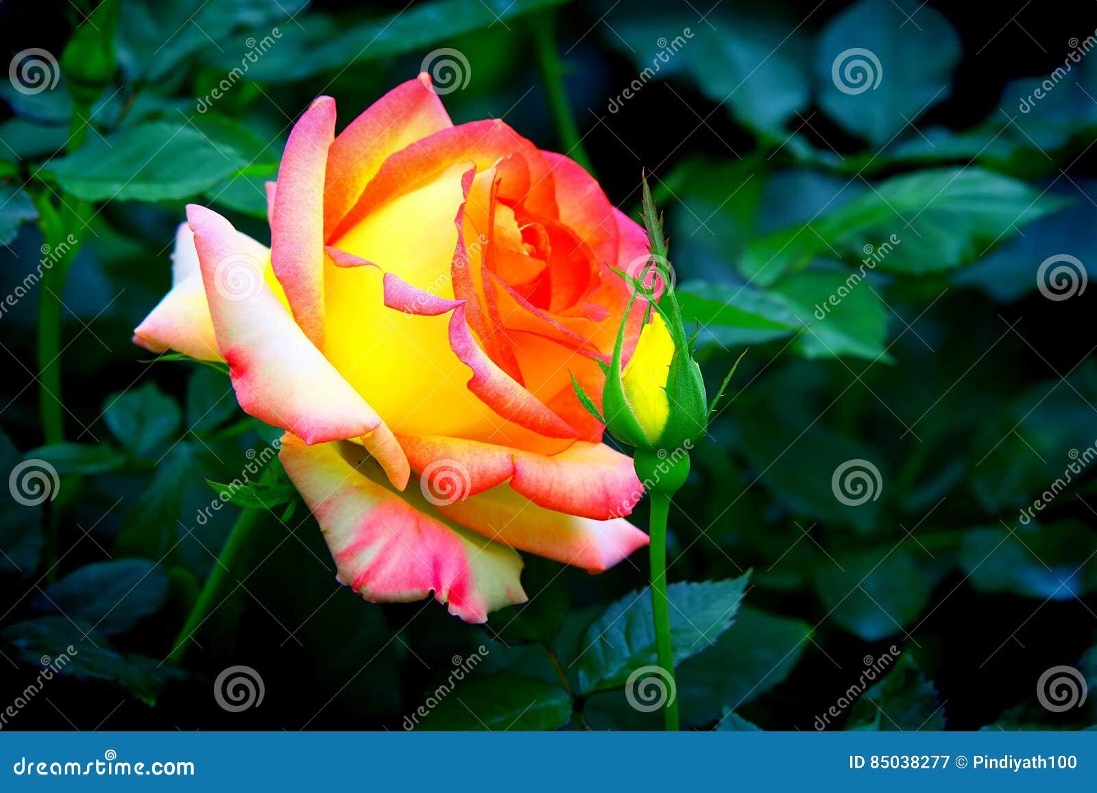 Rosa blandros och knopp