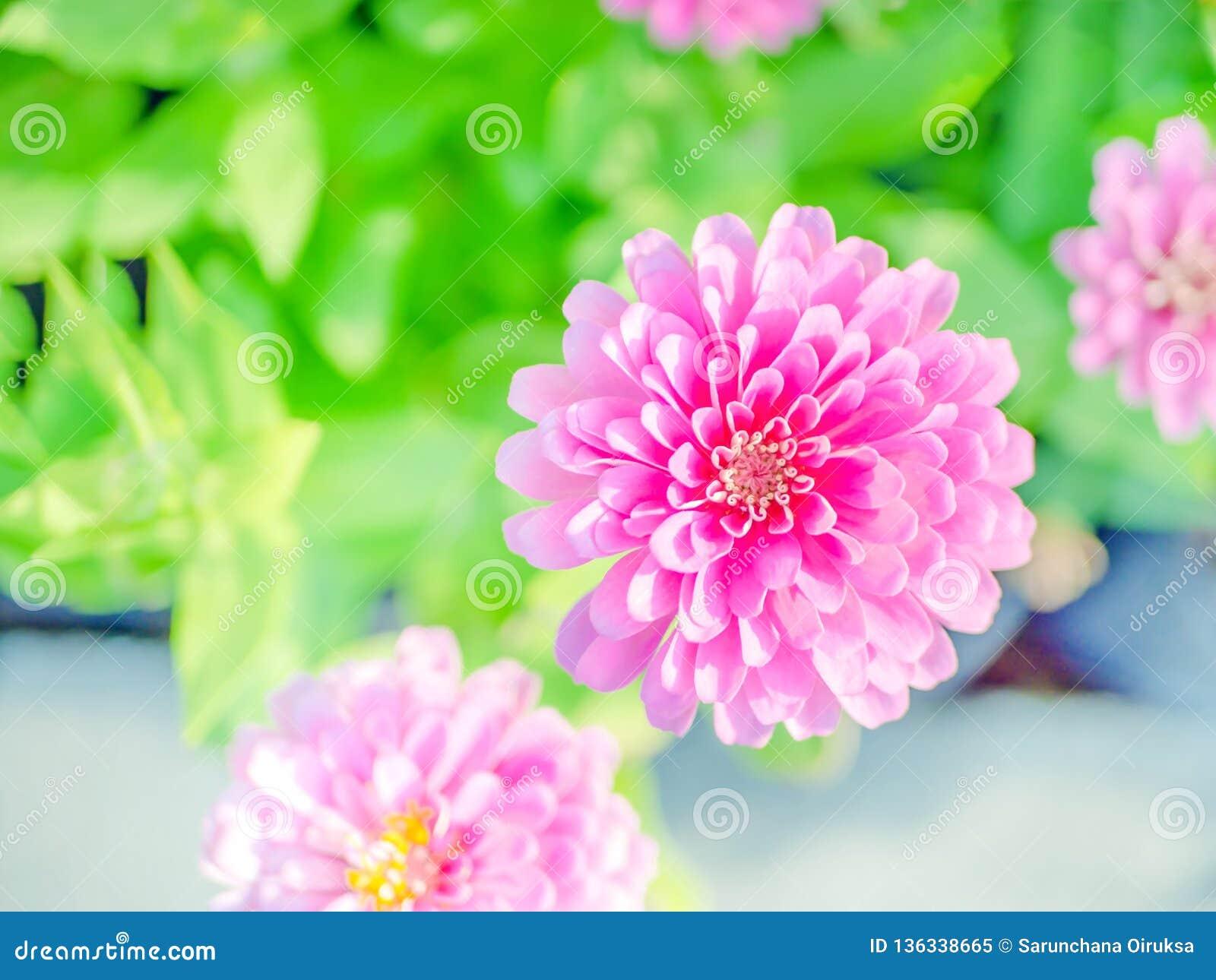 Rosa blomma för blomning för bästa sikt för zinniablommor i den härliga bakgrunden för natur