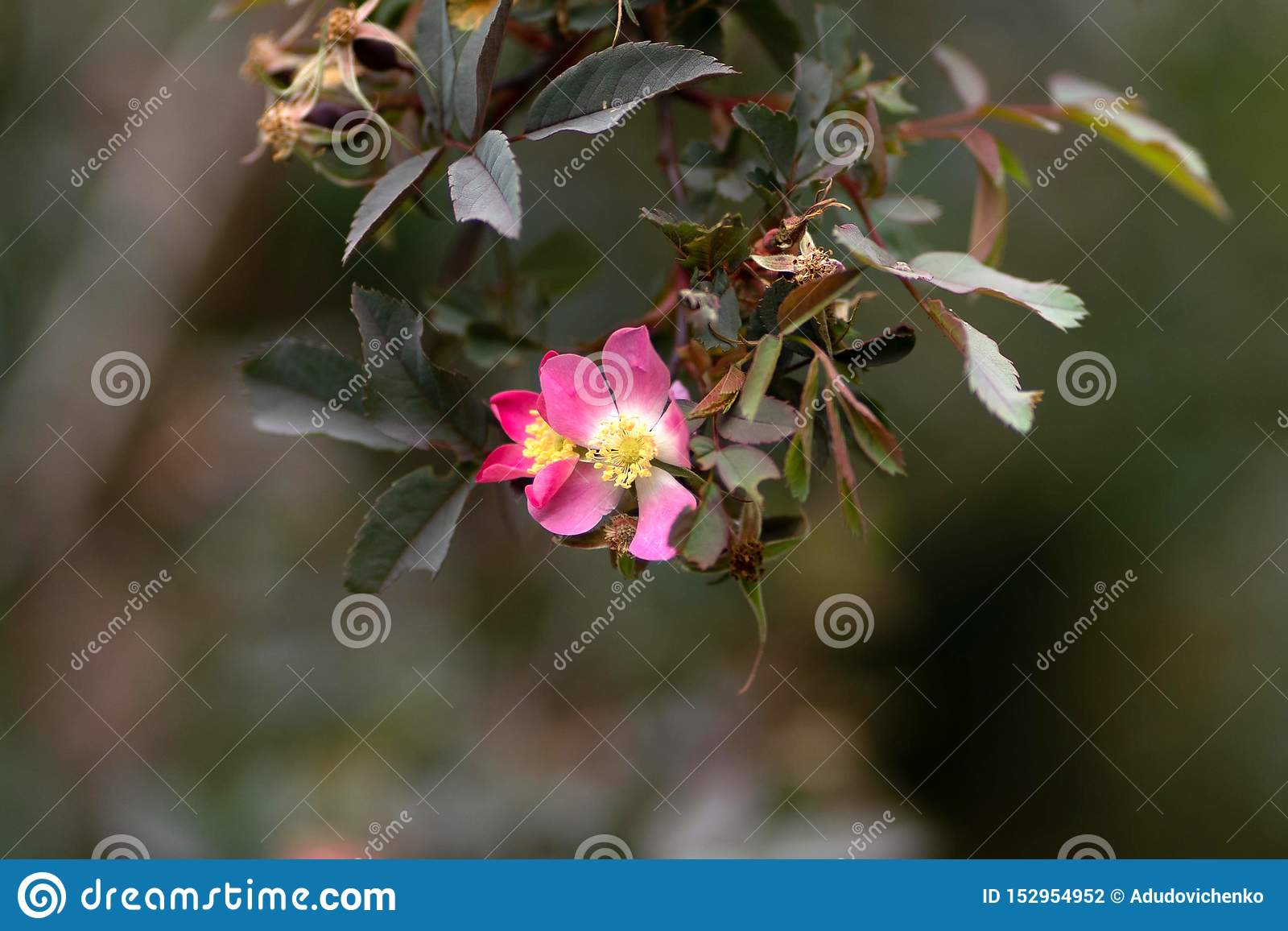Rosa blomma på ett filialslut upp