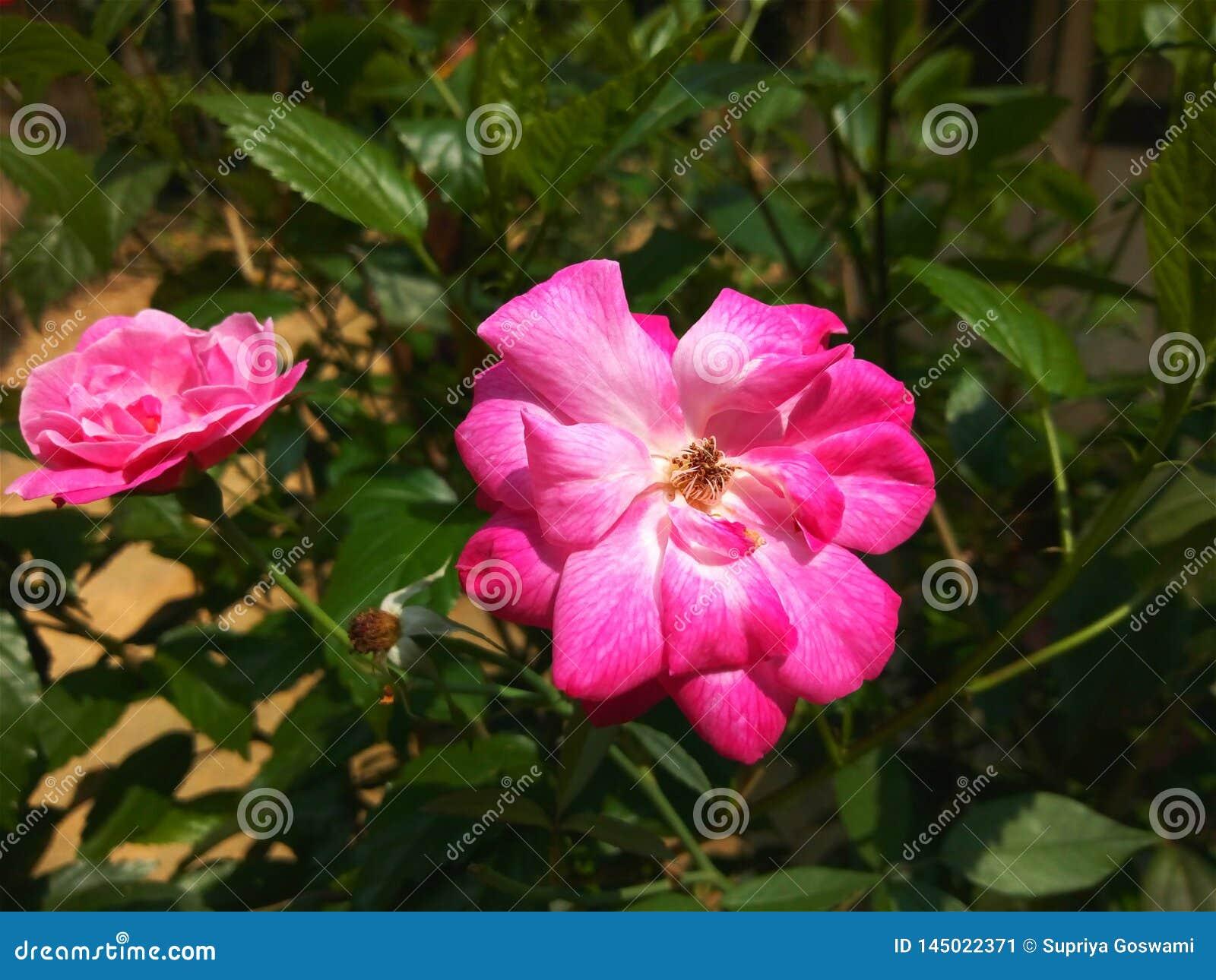 Rosa blomma på trädfilialen