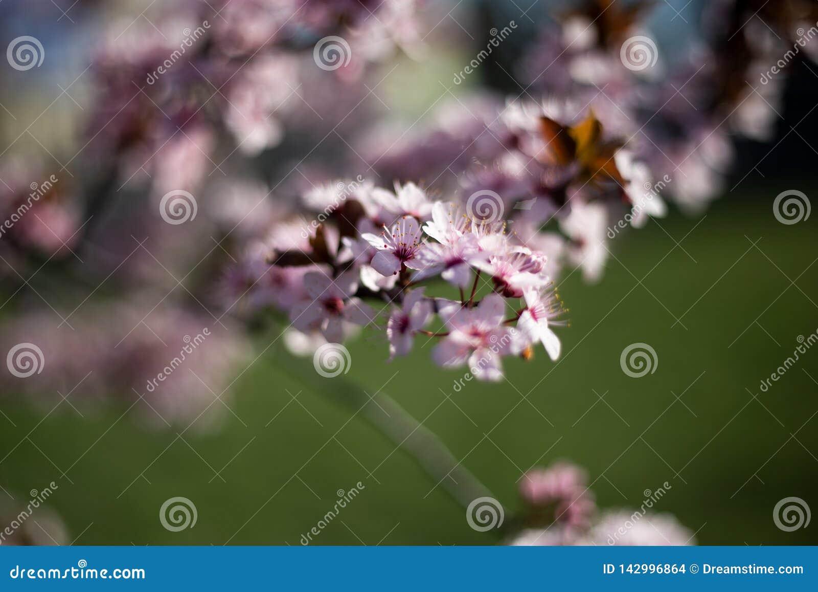 Rosa blommabokeh för original- blomning