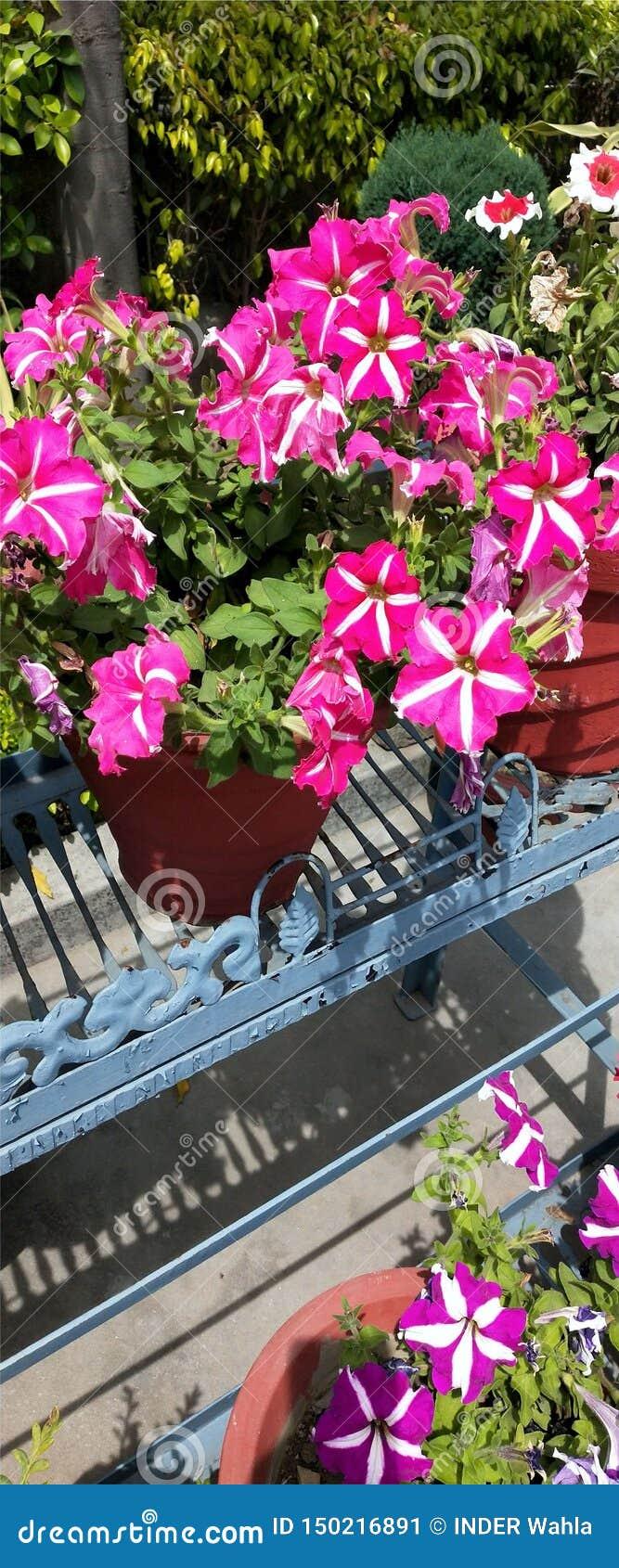 Rosa blommafotografiröd-vit blommor H?rliga blommor med gr?n bakgrund