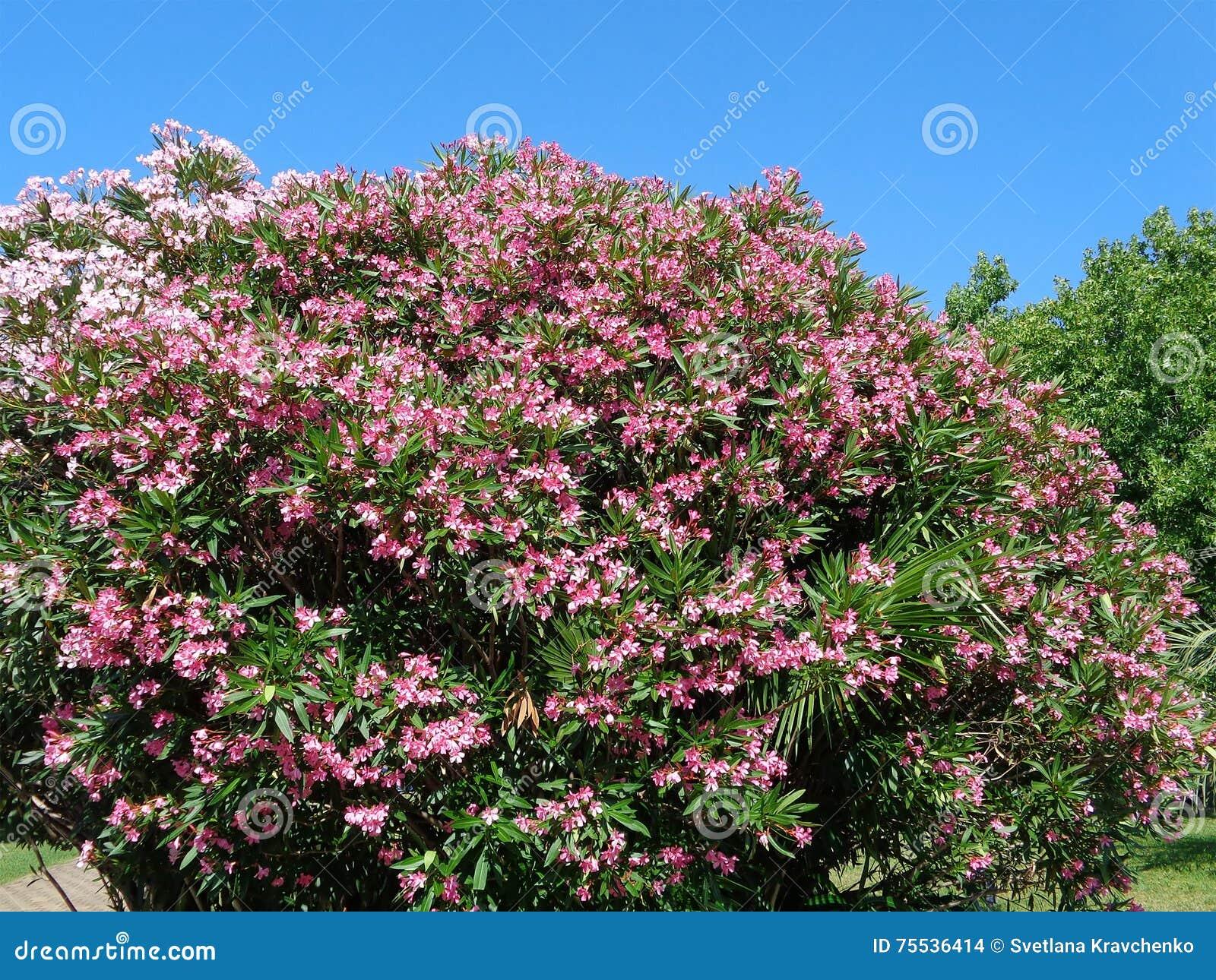 buske med rosa blommor