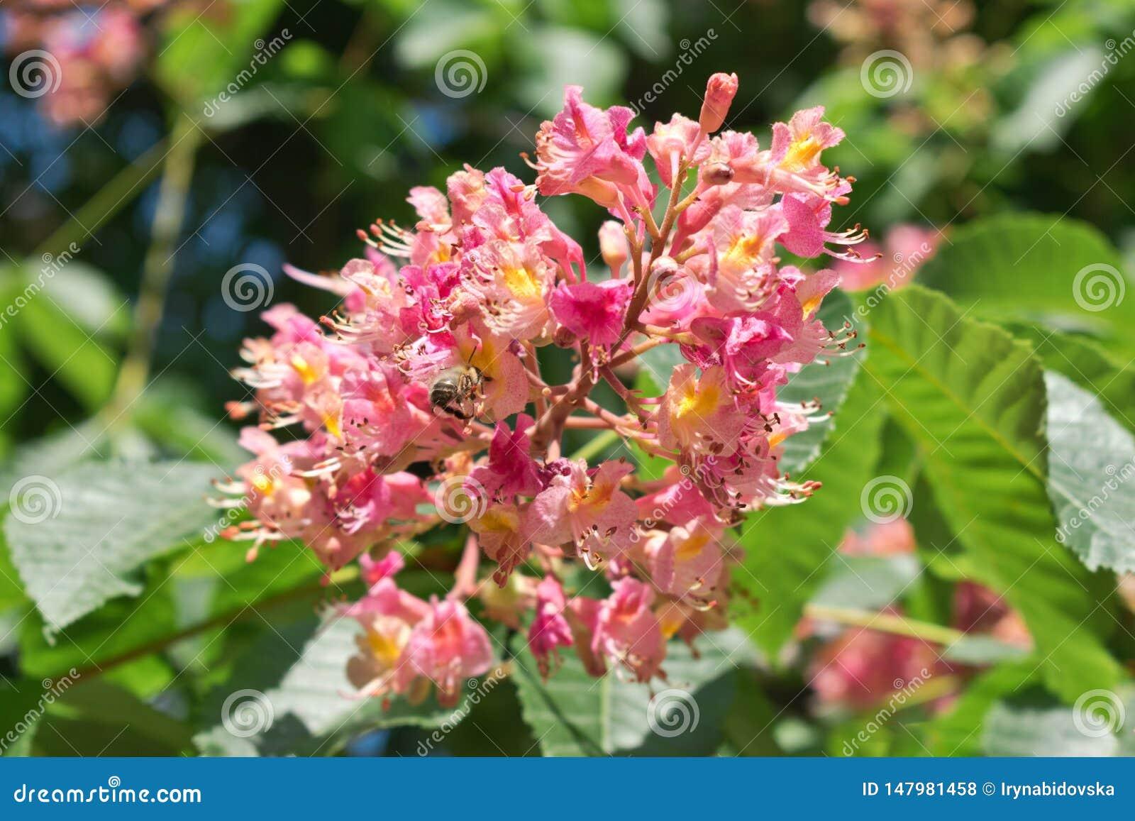 Rosa blommor för hästkastanj på en bakgrund av gröna sidor