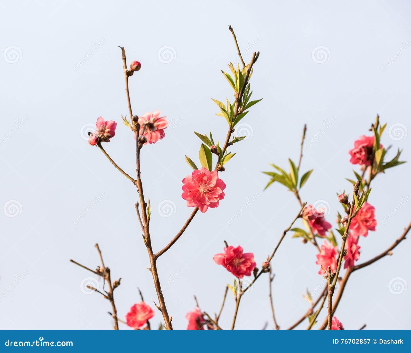 Rosa blomningar