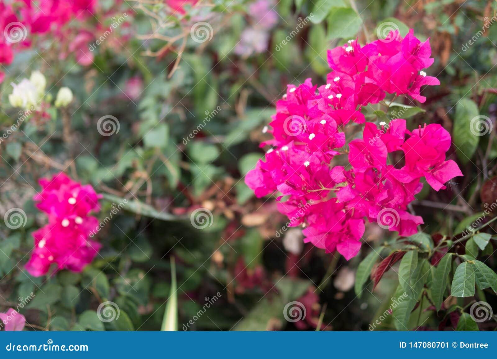 Rosa Blume des Bouganvillas