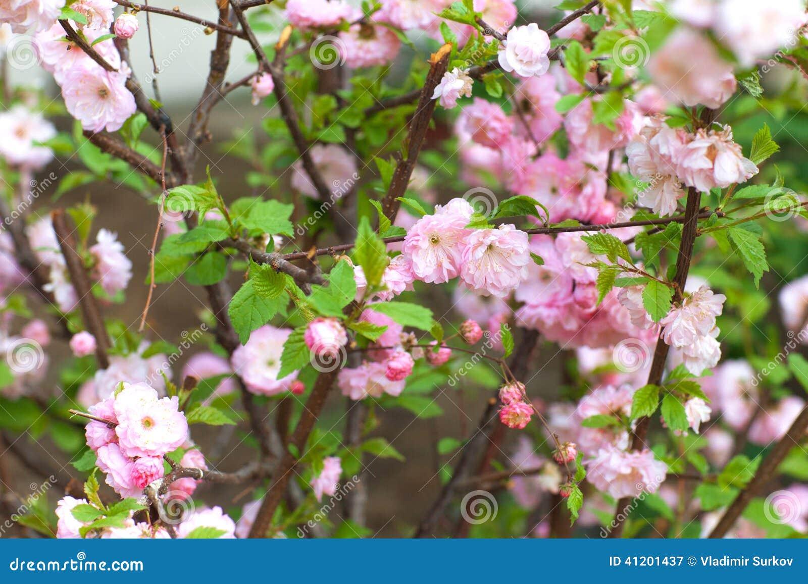 rosa blumen auf busch stockfoto bild 41201437. Black Bedroom Furniture Sets. Home Design Ideas