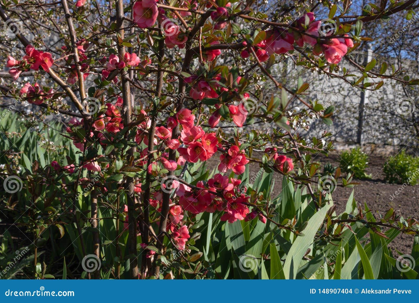 Rosa Blumen bl?hen auf dem Busch eines Blumenbeets, gro?e Bl?tter von Blumen wachsen in der N?he