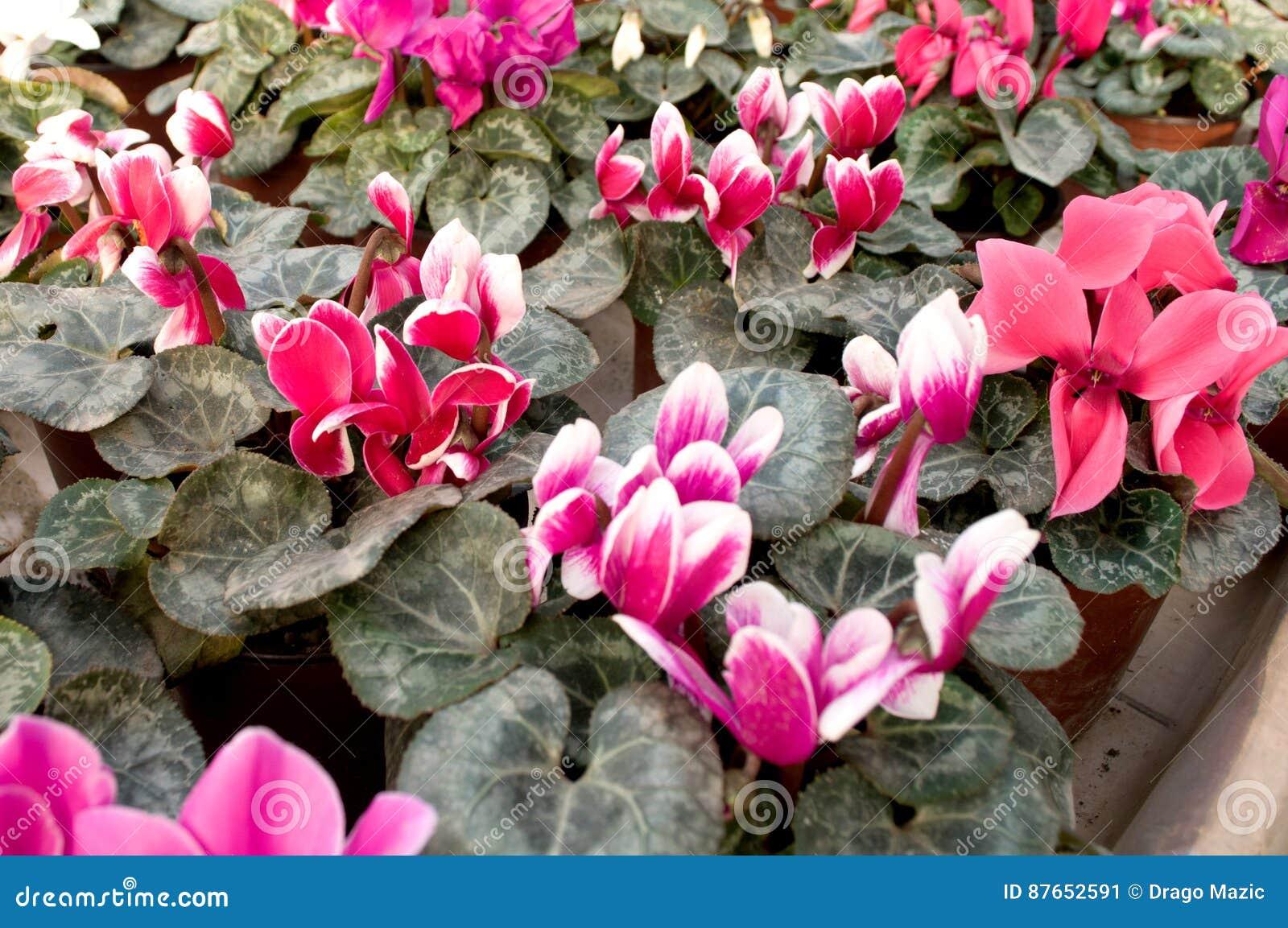 Rosa Blumen Blühen Im Februar Bereit Zum Frauen S Tag Am 8 März