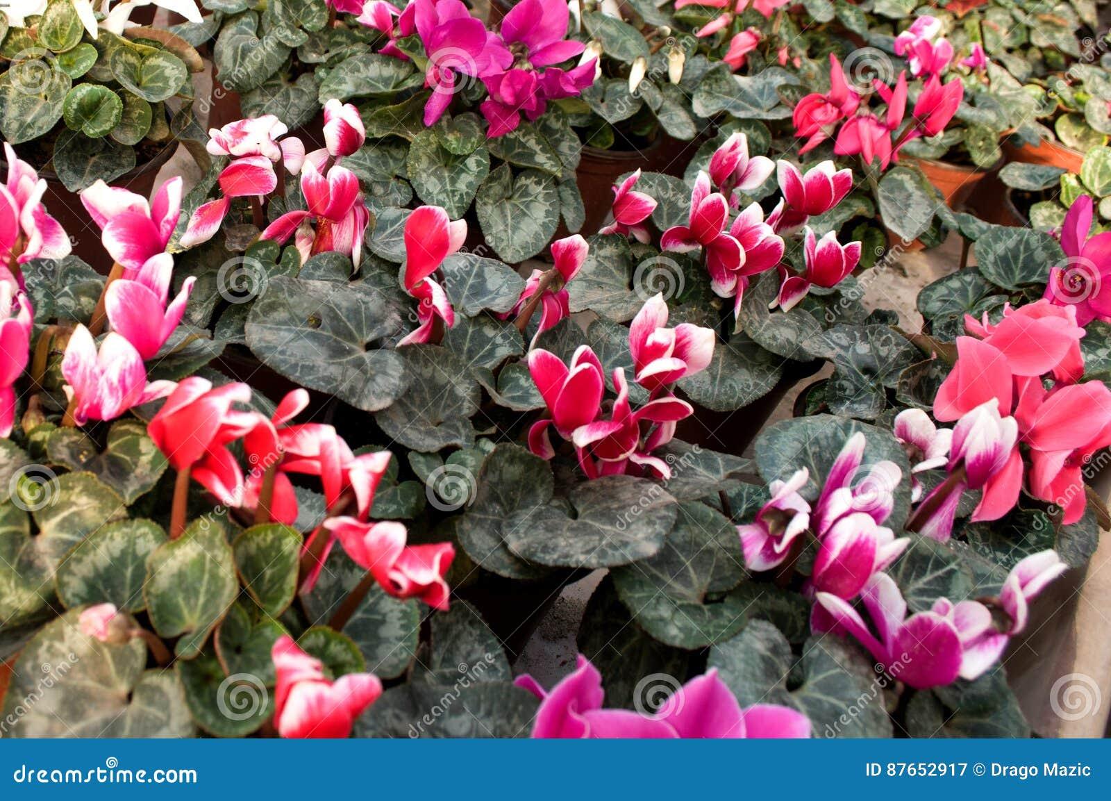 Beeindruckend Welche Blumen Blühen Im März Beste Wahl Pattern Rosa Blühen Februar, Bereit Zum Frauen