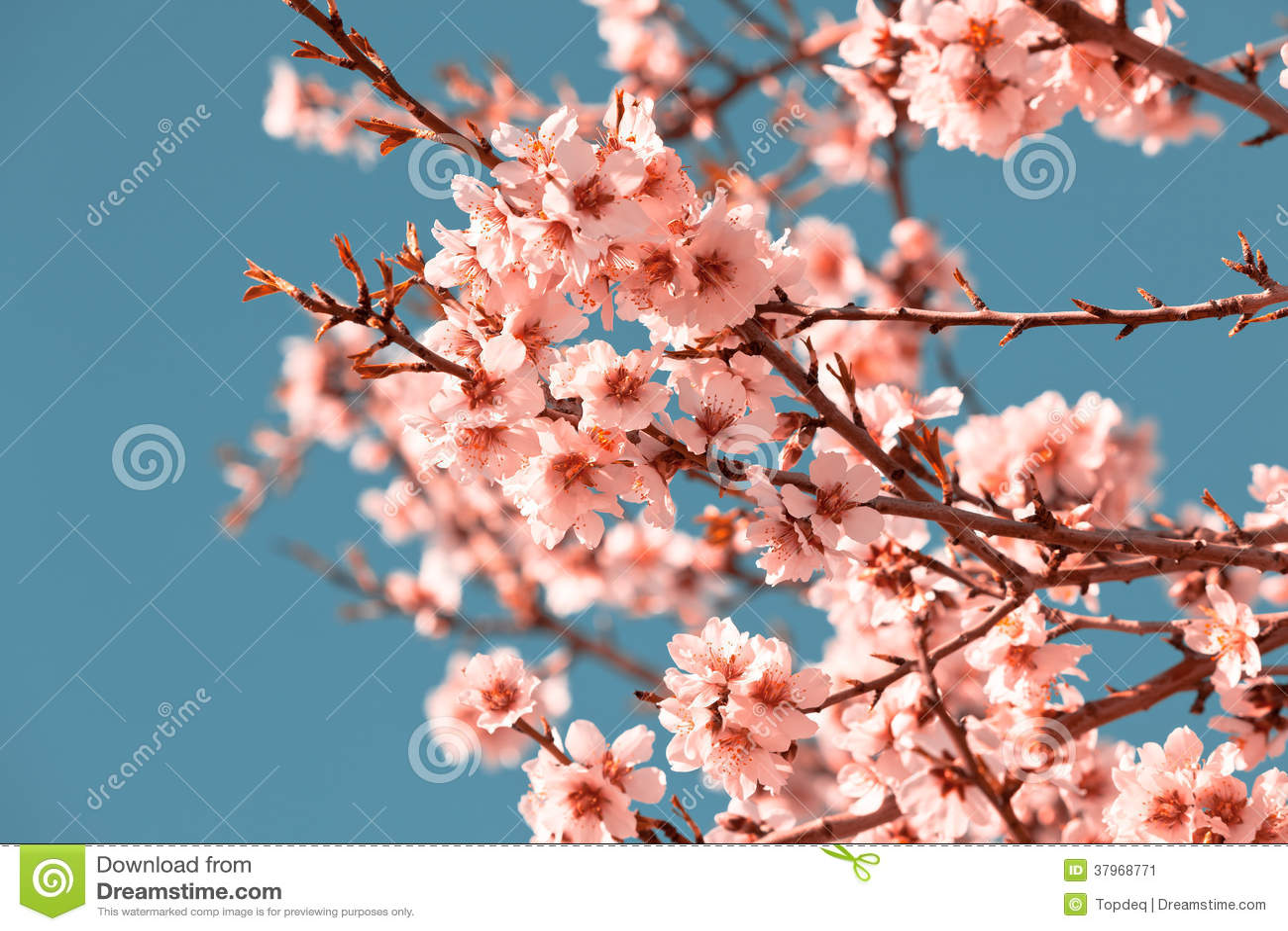 rosa blumen bl hender pfirsich baum am fr hling stockbild bild 37968771