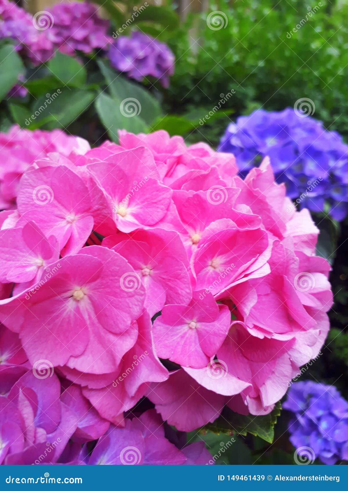 Rosa Blumen in einem gr?nen Bett in einem Garten