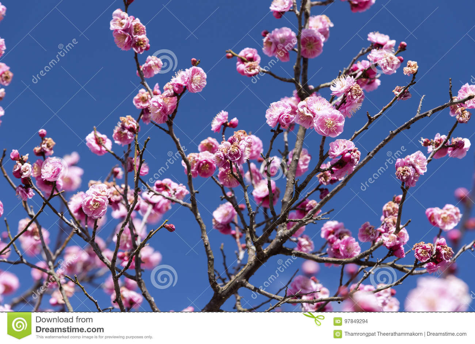 Rosa Blumen von Cherry Plum Baum oder Ume auf japanisch, Japan-Blume, Schönheitskonzept, japanisches Badekurortkonzept