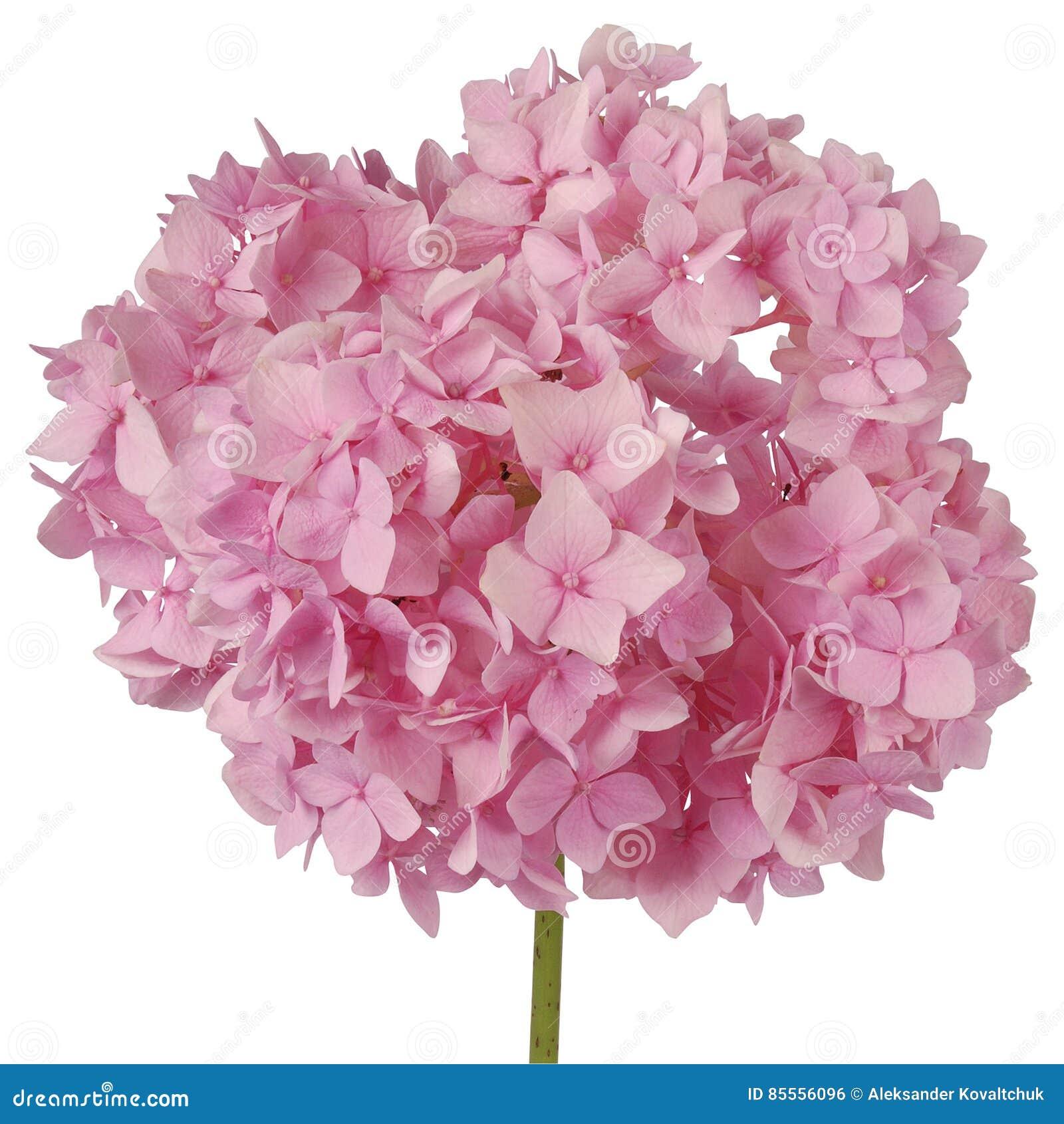 Rosa Blumenhortensie Beschneidungspfad