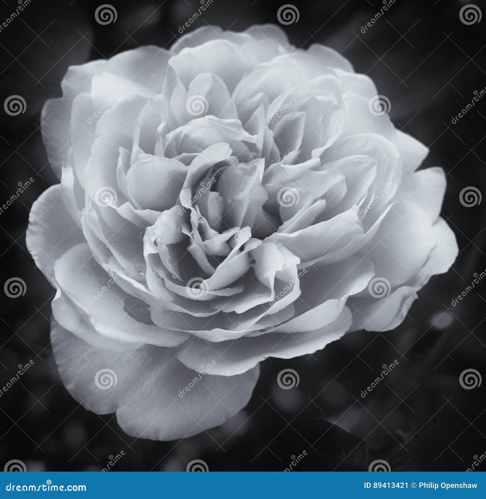 Rosa branca de incandescência no preto