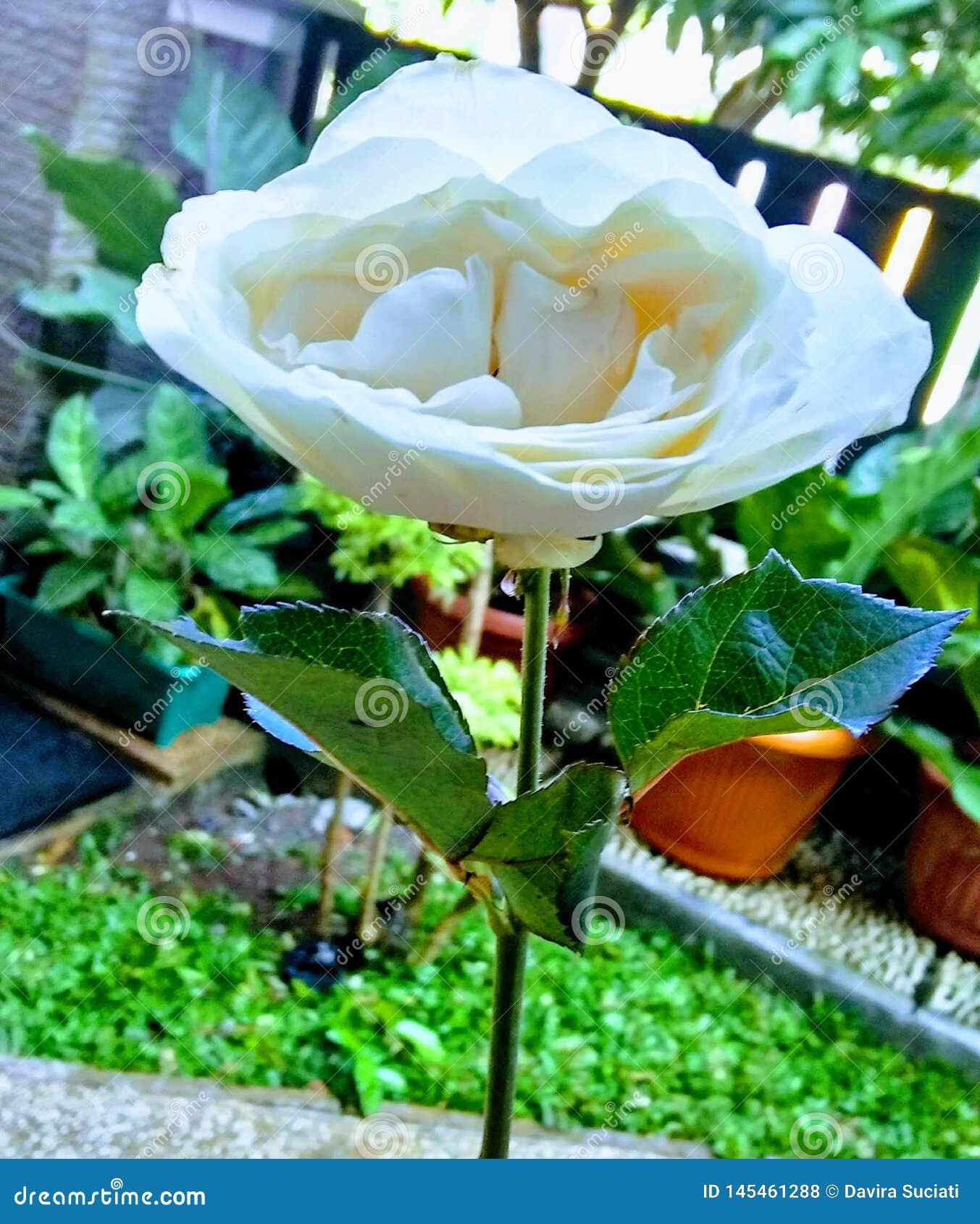 Rosa branca que Spesial alguém gived