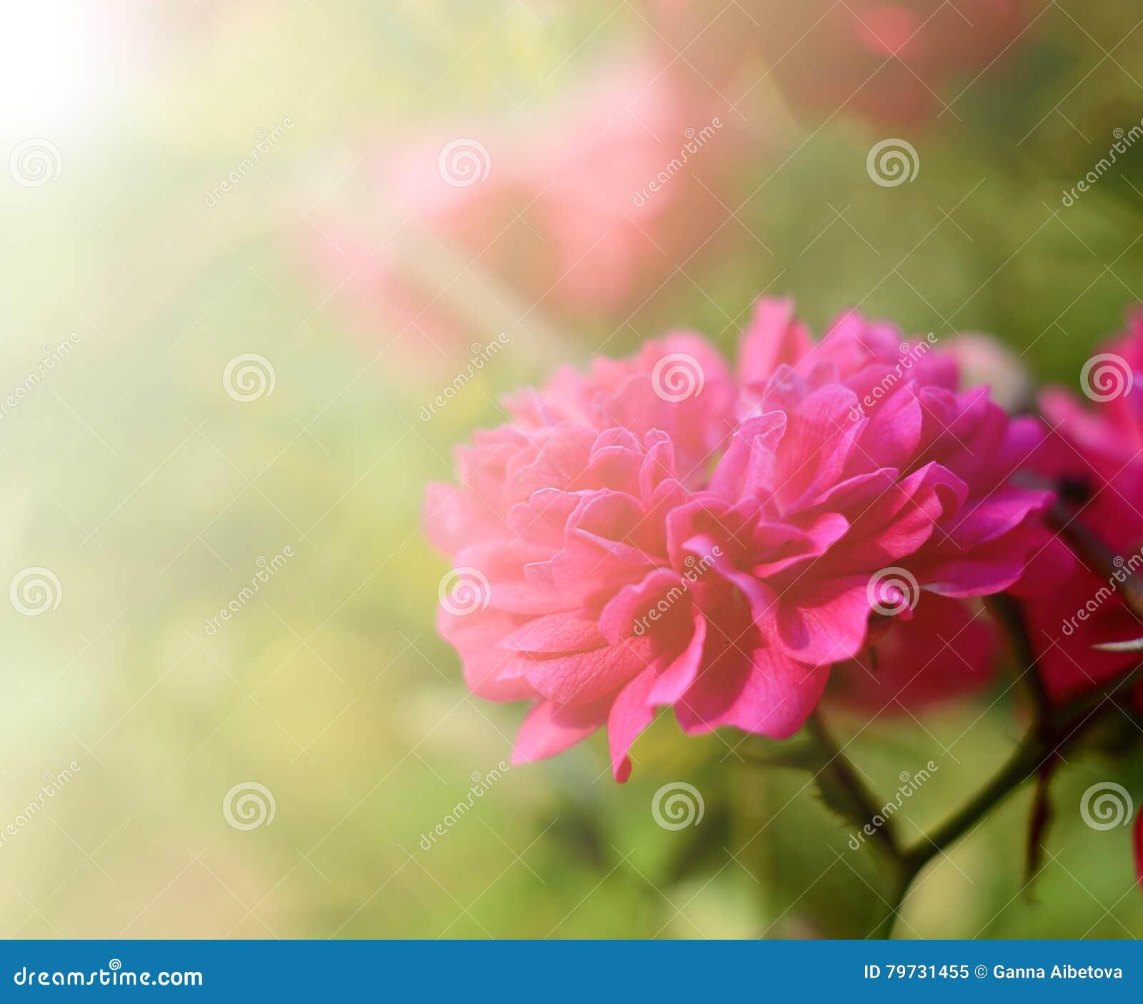 Rosa brillante del rosa que florece en el jardín, al aire libre Fondo estacional de la primavera botánica hermosa