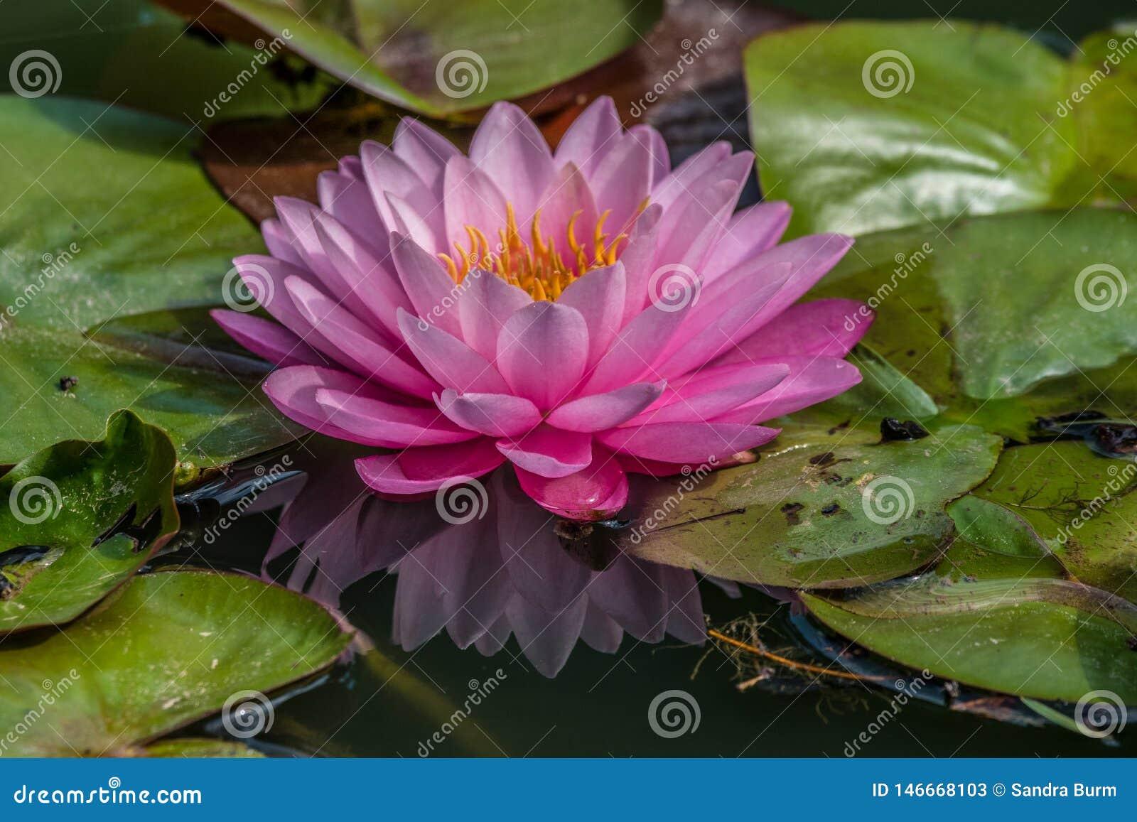 Rosa brillante hermoso waterlily en la charca