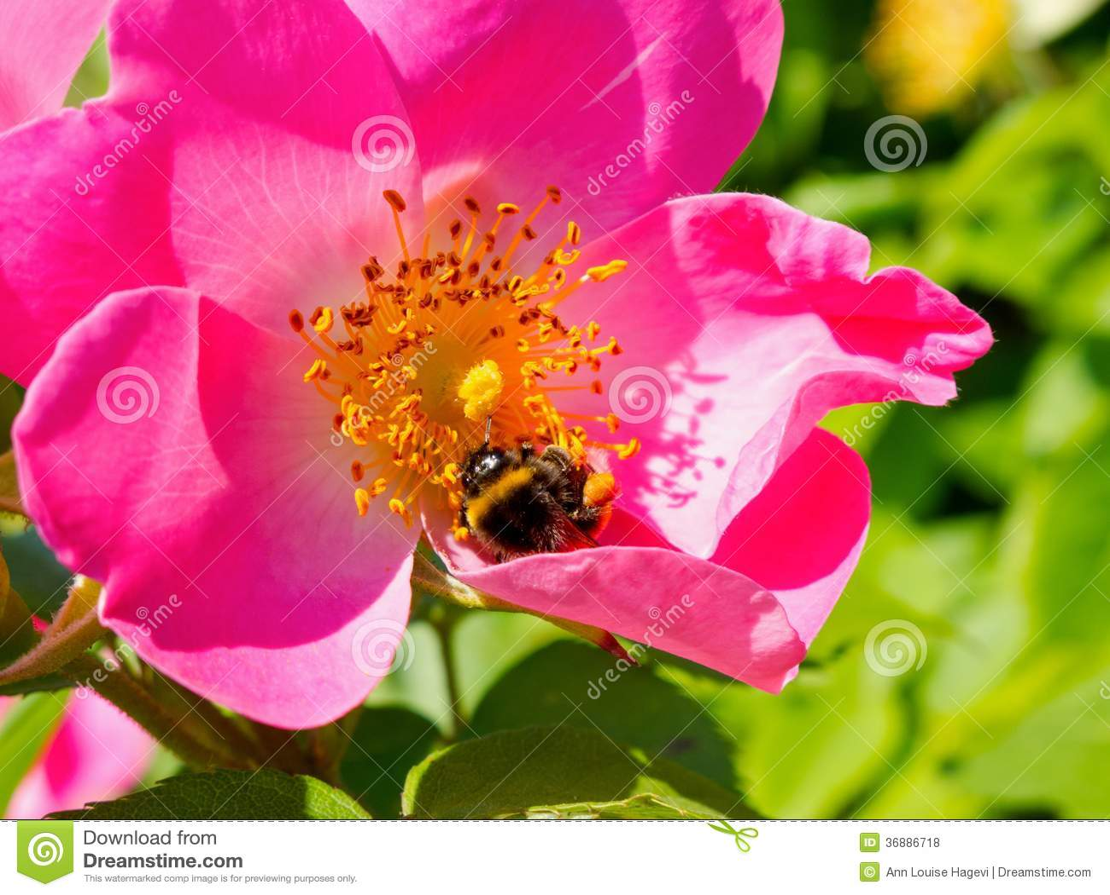 Download Rosa canina rosa fotografia stock. Immagine di flora - 36886718