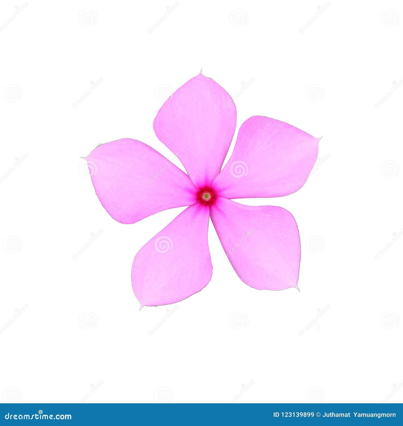 Rosa Catharanthus, den roseus in Madaba nach Mittelamerika gebürtig sind, lokalisierte weißen Hintergrund