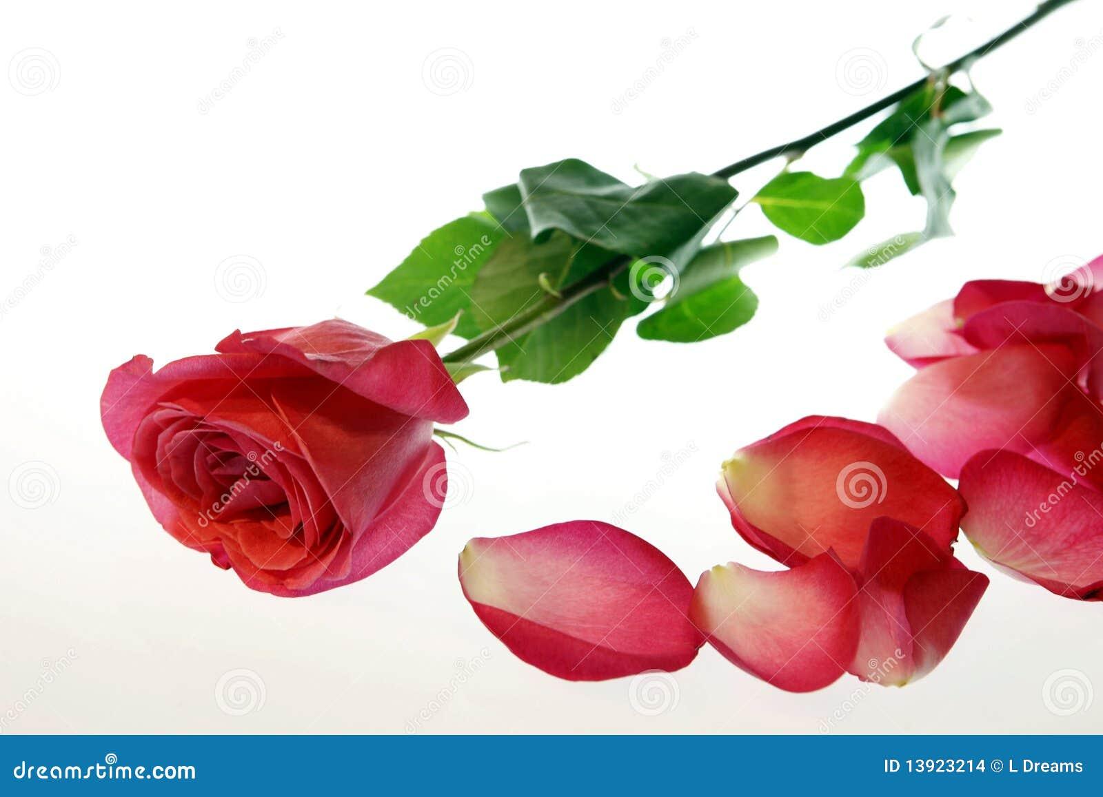 Rosa com as pétalas dispersadas