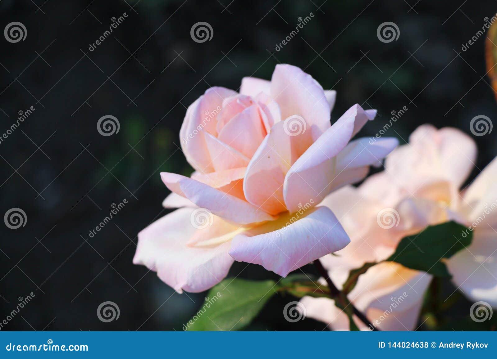 Rosa cor-de-rosa no jardim