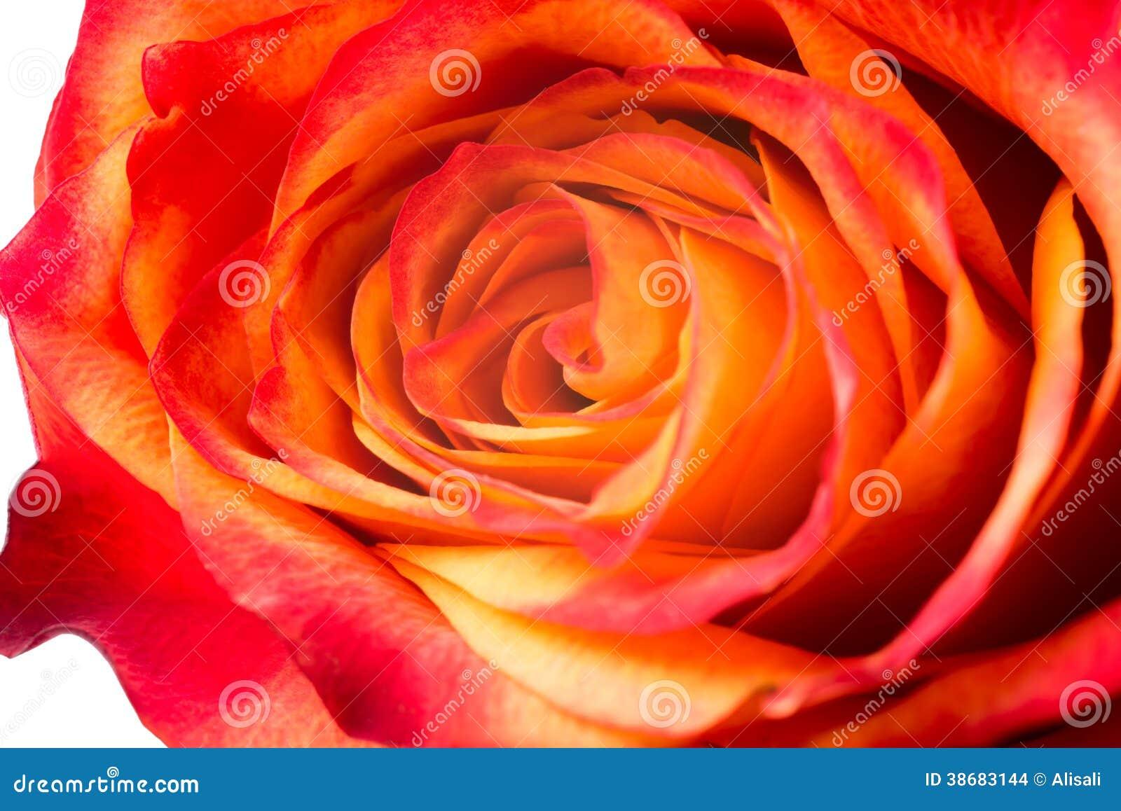 Rosa Da Laranja é Isolada No Fundo Branco Imagens de Stock Imagem  #C94A02 1300x958 Banheiro Branco E Laranja