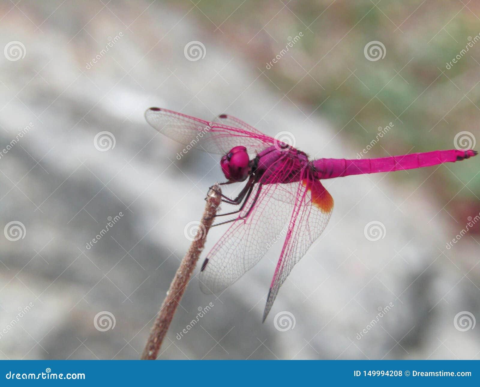 Rosa da mosca do dragão