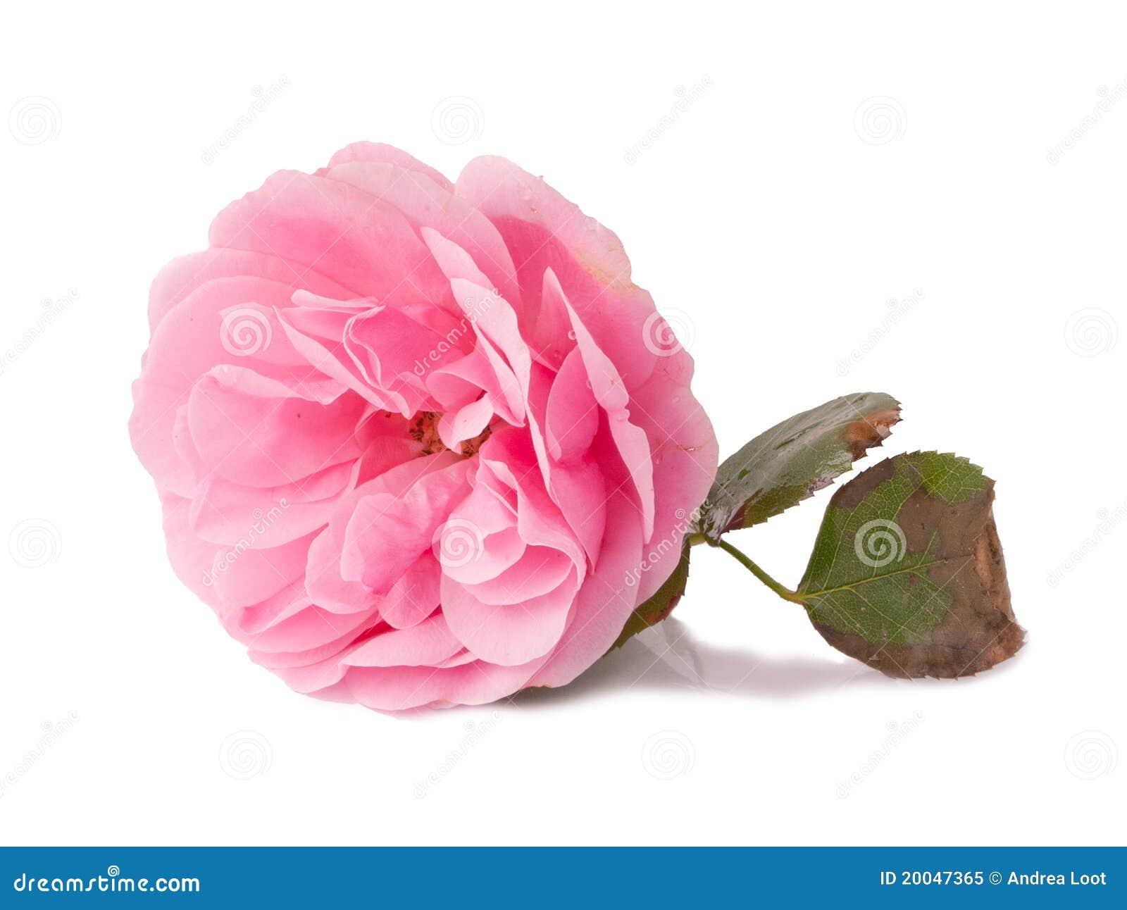 Rosa Damascena Royalty Free Stock Photo Image 20047365