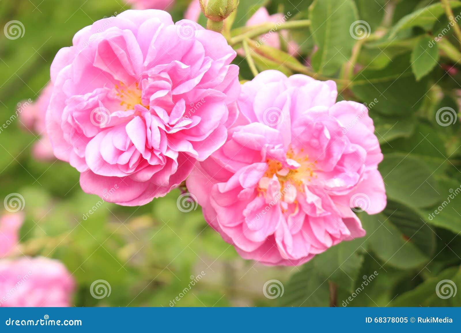 Rosa damascena - Rosa x Damascena