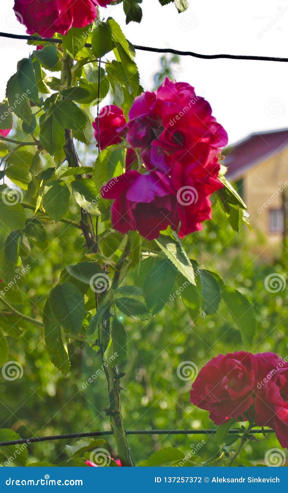 Rosa, rosa de chá, Rosa vermelha, jardim aumentou, país aumentou