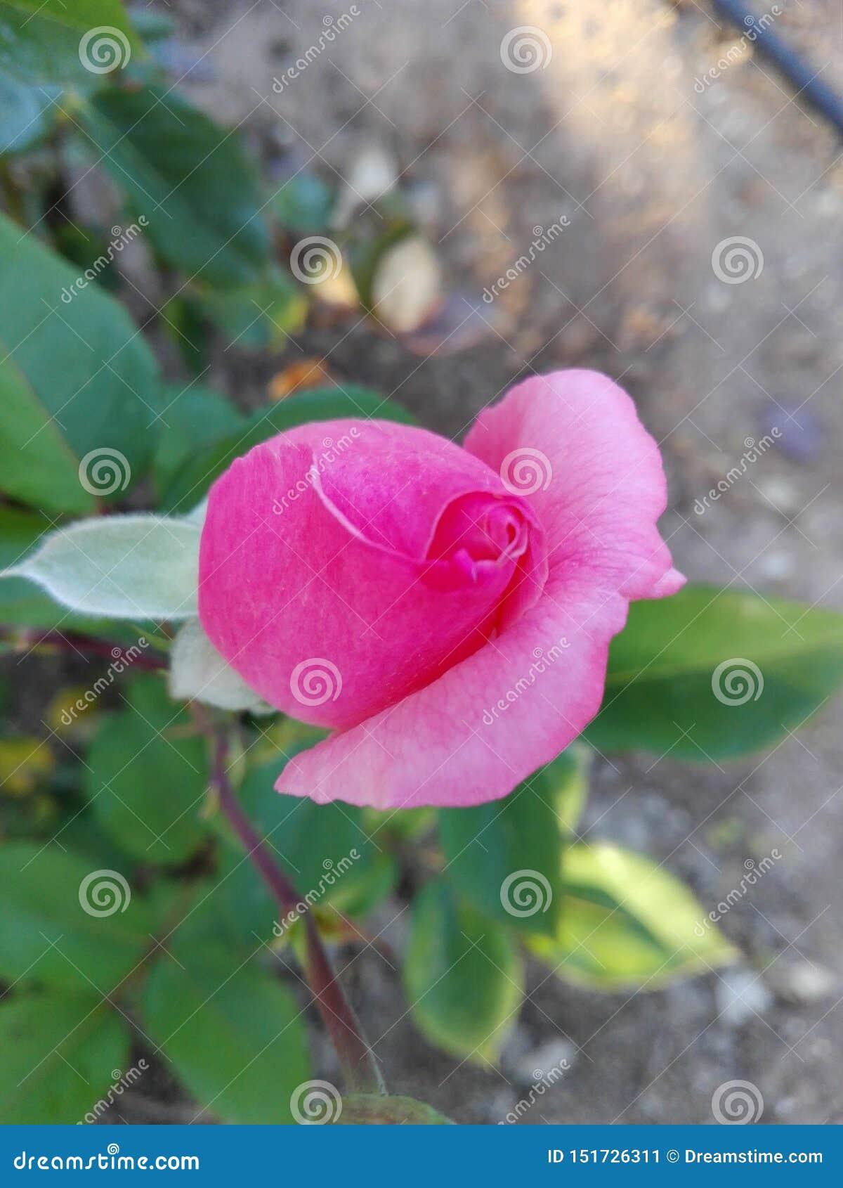 Rosa de cogida Rose Bud del ojo