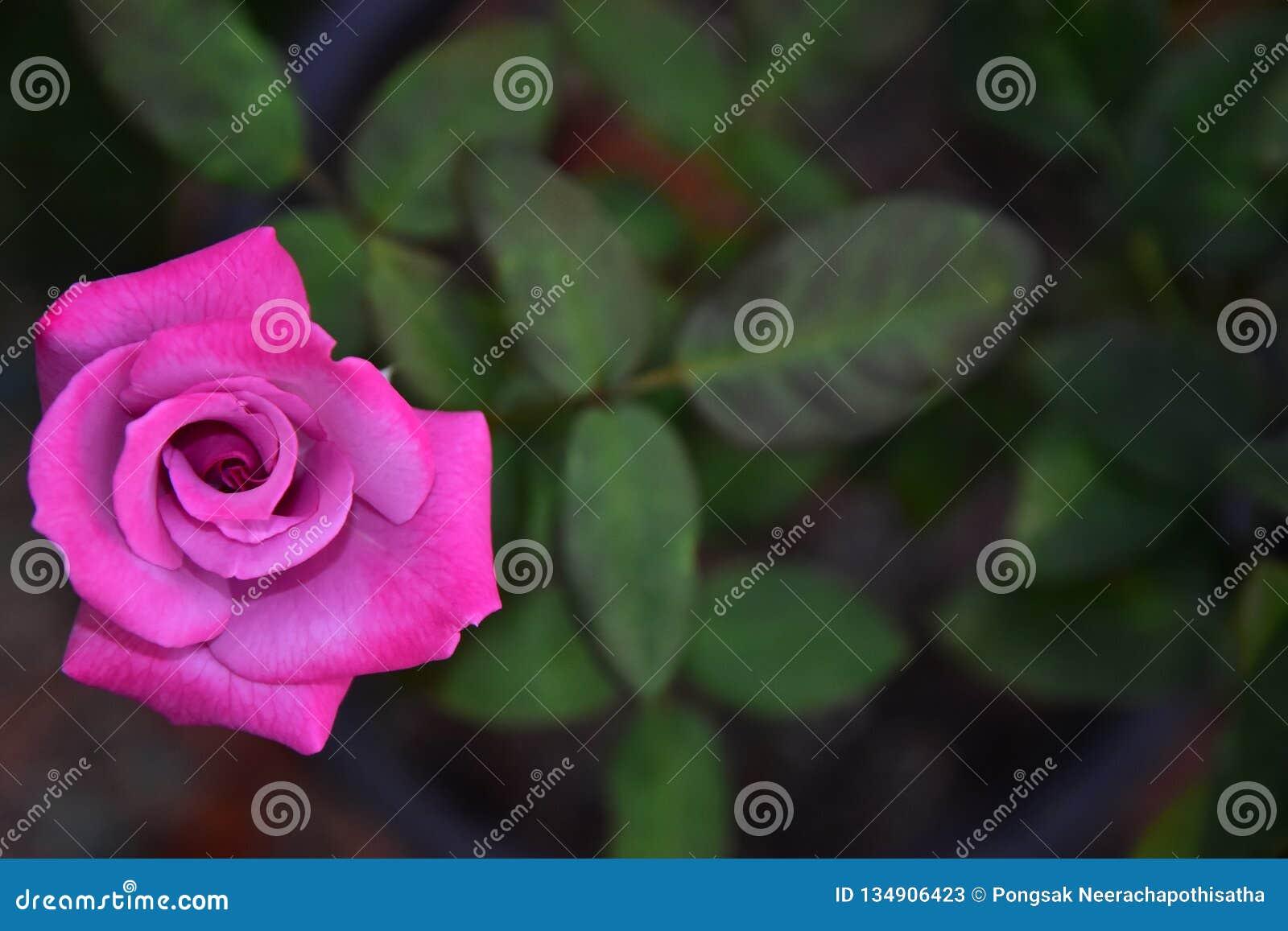 Rosa de florescência bonito Rose Flower com fundo do borrão