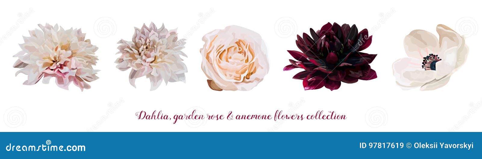 Rosa de jardín de flores Rose, flores melocotón natural, elementos rosas claros rojos del diseñador de Dahlia Anemone diversas de