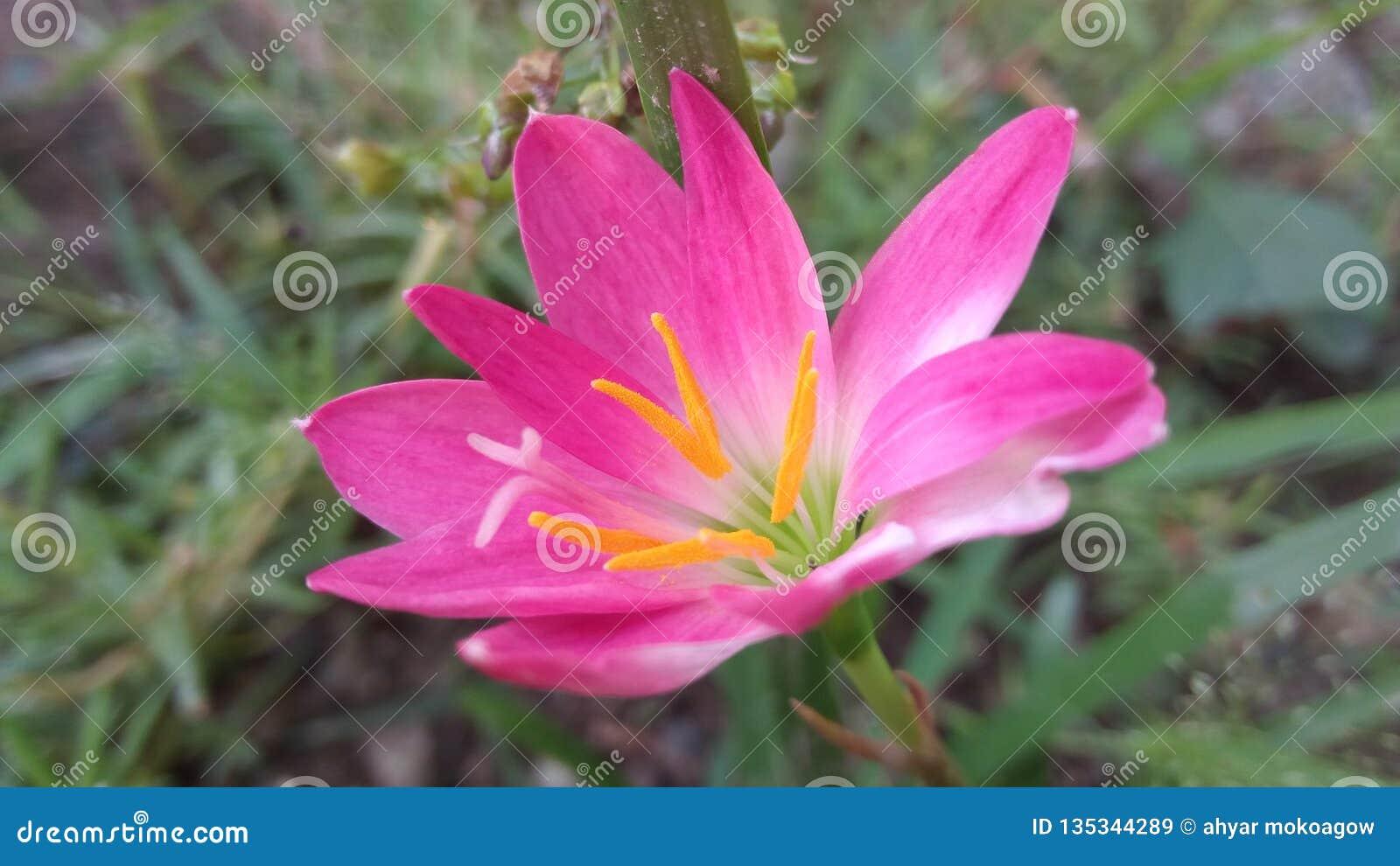 Rosa de la flor por la mañana