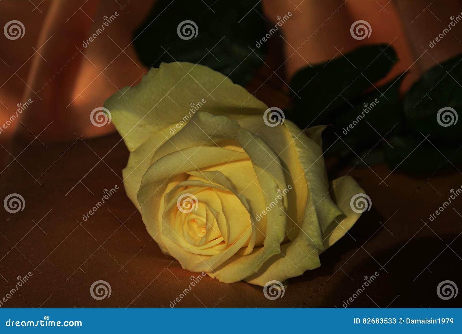 Rosa del amarillo en un fondo del claroscuro