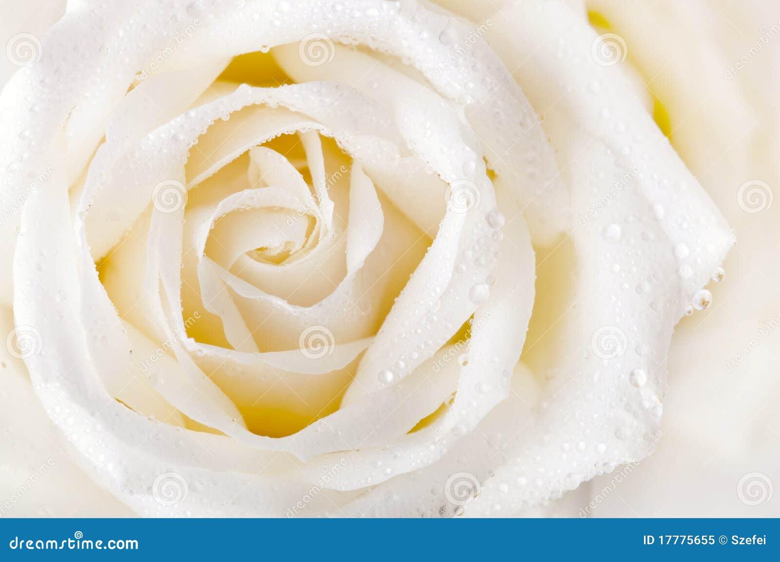 Rosa del blanco