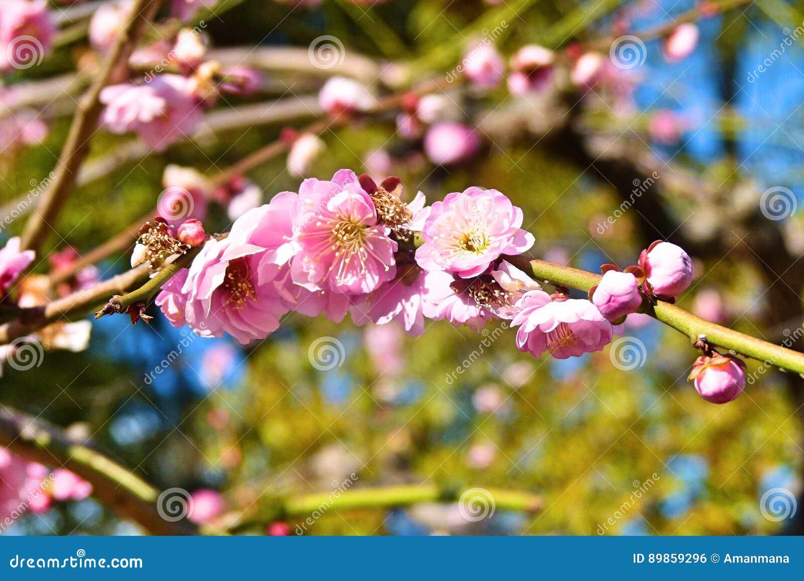 Ciliegio Fiori Bianchi O Rosa.Rosa Del Fiore Di Sakura Ciliegio Giapponese Fotografia Stock