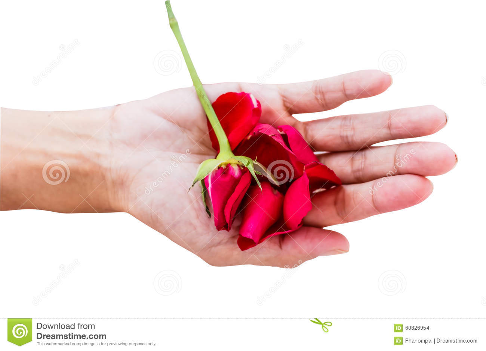 Rosa del rojo con las manos en el fondo blanco